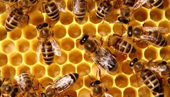 Pčele mogu povezati simbole sa brojevima