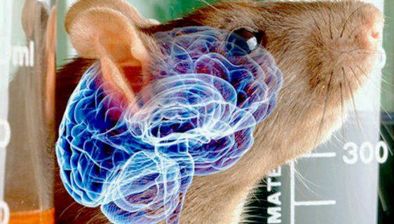Naučnici popravili mozak pacova oštećenog od moždanog udara
