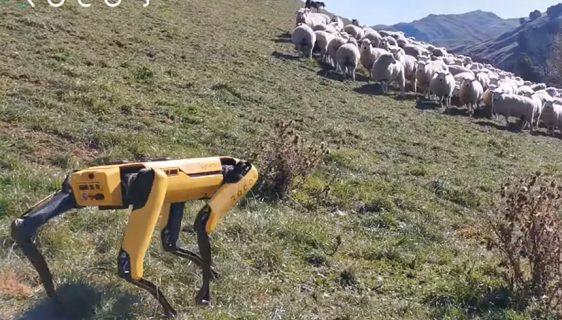 """Pas robot """"Spot"""" čuva ovce na Novom Zelandu"""