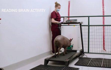 Ilon Mask predstavio svinju kojoj je ugradio čip u mozak (Foto: YouTube screenshot, CNET)