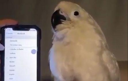 ples papagaja